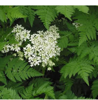 Chervil, Brussels Winter, organic, 200 seeds